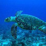 hawksbill_turtle